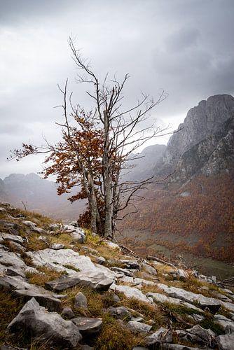 Kaal boompje in de bergen van Albanie