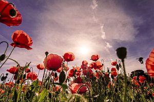 Mohnblumenfeld zum Sonnenaufgang van