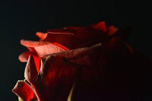 Rose von Yarik Flik