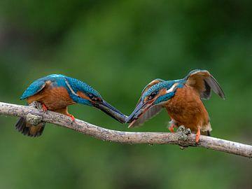 IJsvogel van Rob Honing