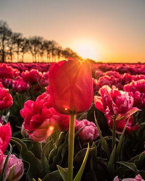 Sonnenuntergang bei den holländischen Tulpenfeldern von Saranda Hofstra