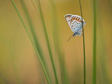 Heideblauwtje in het gras von Elles Rijsdijk