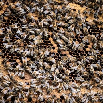 Honingbijen van René Holtslag