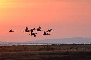 Kraniche ( Grus grus) im Flug am frühen Morgenhimmel