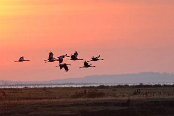 Kranen (Grus grus) tijdens de vlucht in de vroege ochtendlucht van wunderbare Erde
