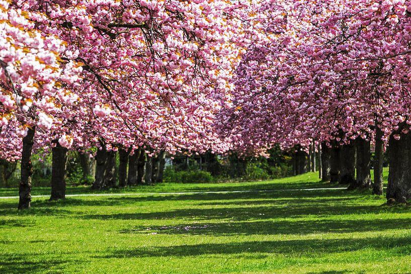 Kirschblüte von Frank Herrmann