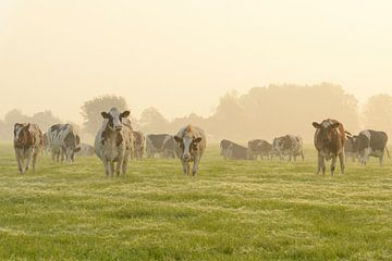 Kühe auf einer Wiese bei einem nebligen Sonnenaufgang von Sjoerd van der Wal