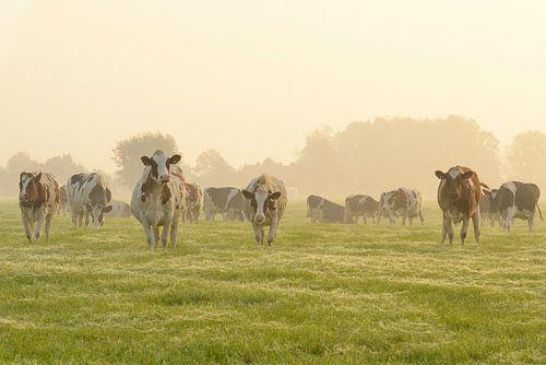 Koeien in de wei tijdens een mistige zonsopkomst