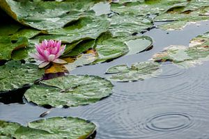 Water lilly in the rain