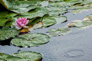 Waterlelie in de regen van