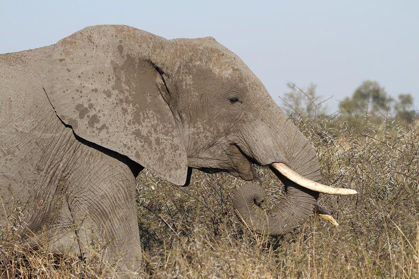 Rechterkant van olifant van Jeroen Meeuwsen