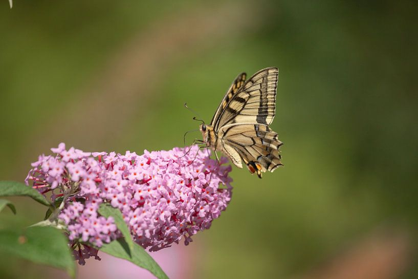 Koninginnenpage (Papilio machaon) van Eric Wander