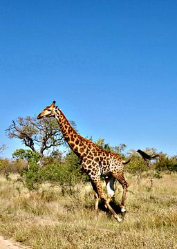 giraffe van zam art