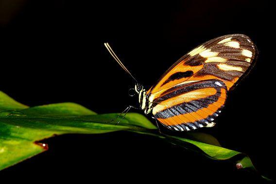 Passiebloem vlinder (Heliconius Hecale)