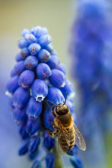 Bij op een blauwe druif