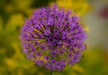 Lila Allium. von Joyce Derksen