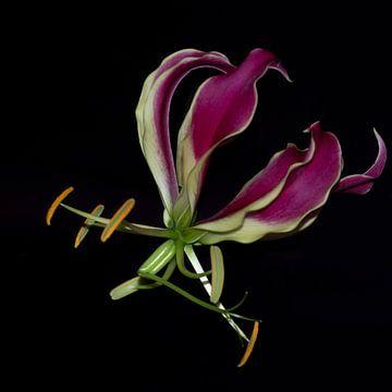 Die Gloriosa Superba von Lynlabiephotography
