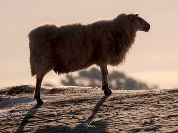 schwarze und weiße Schafe von Henri van Rheenen