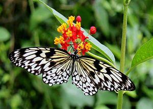 Vlinder  de Idea Leuconoe