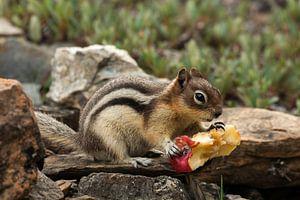Eekhoorn verorbert een appelkroos
