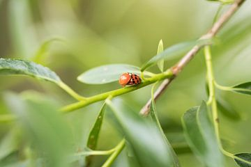Coccinelle au printemps sur lichtfuchs.fotografie