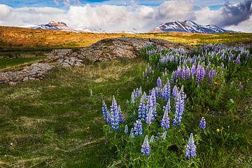 Lupines in IJsland van Daniela Beyer