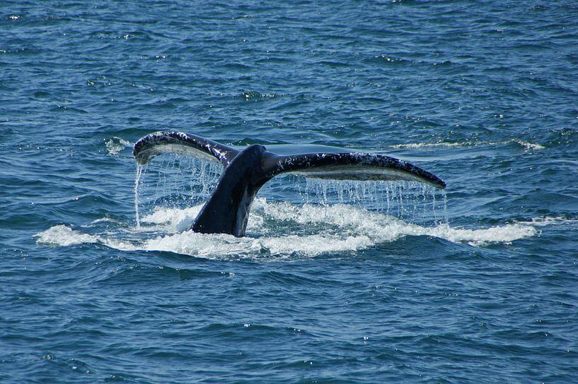 Humpback Whale taking a deep dive van Jeroen van Deel