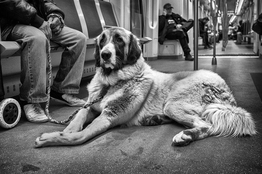 Anatolische herder in metro