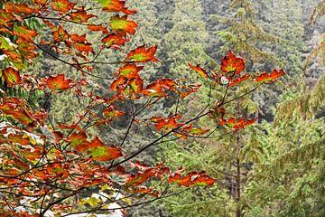 Indian Summer - Canadeese esdoorn boom in mooie herfstkleuren van Jutta Klassen