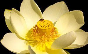 Seerose mit Biene von Corrie Ruijer
