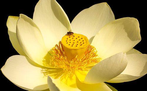 Lotusbloem met insect