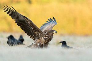 White-tailed Eagle / Sea Eagle ( Haliaeetus albicilla ) young, adolescent landing next to some Commo