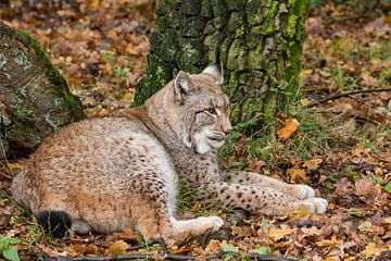 Liggende Lynx in herfst bos van