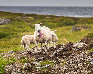 Schafe entlang der Küste auf den Vesterålen von Hamperium Photography
