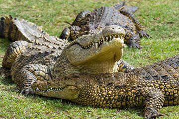 Krokodillen von
