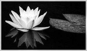 Waterlelie / in zwart-wit