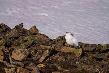 Spitzbergen Schneehuhn von Merijn Loch