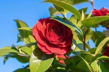 rode bloesem van Martin Haunhorst