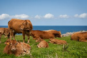 Koeien in een veld bij de zee van
