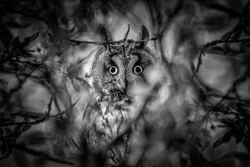Erstaunte Langohr-Eule zwischen den Blättern von Wout Kok