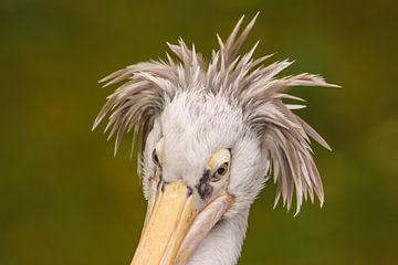 Pelikan sur Heinz Grates