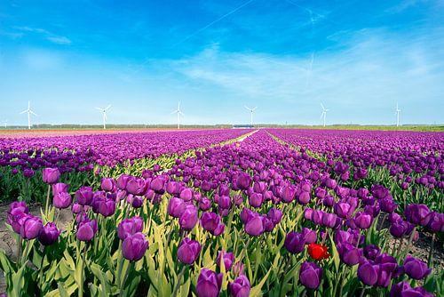 Bollenveld in de Flevolandse polder van