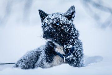 """Husky """"White Walker"""" in de sneeuw"""