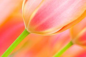 Tulp in de lente met prachtige kleuren van Bas Meelker