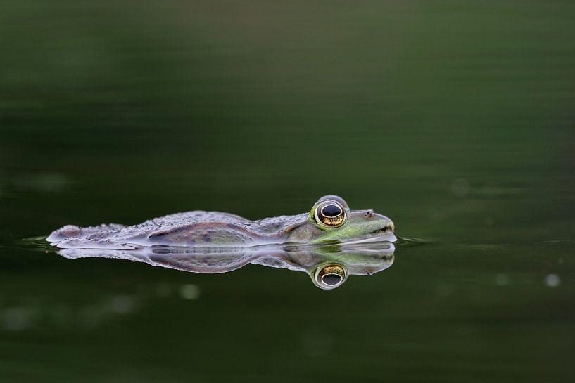 Frosch auf der Wasseroberfläche von Astrid Brouwers