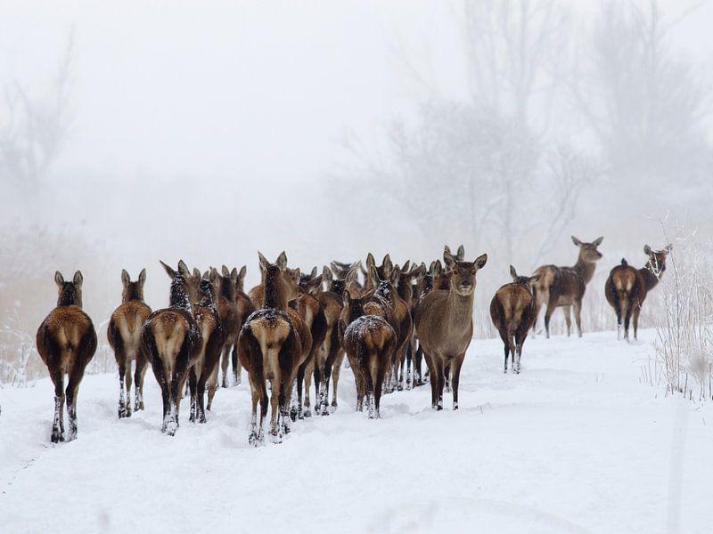 Edelherten in de sneeuw
