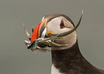 Papegaaiduiker met vis van Marcel Klootwijk