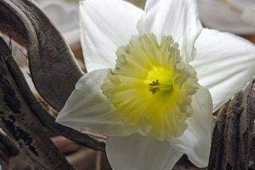 Weiße Narzisse von Ellinor Creation