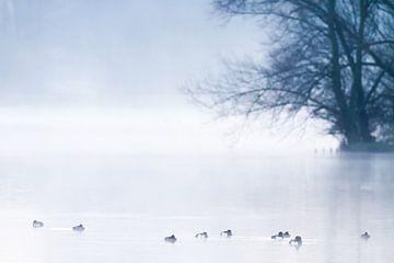 Kuifeenden in de mist op Valkenburgse Meer van Menno van Duijn