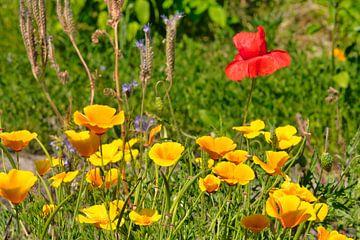 Een veld  met oranje gele en rood en paarse wilde bloemen van J..M de Jong-Jansen